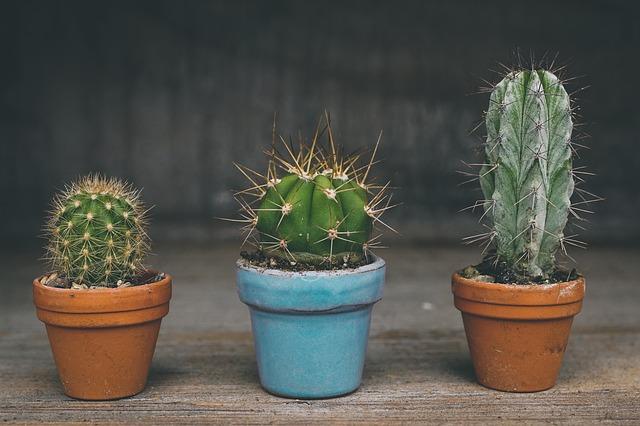 kaktusy v črepníkoch.jpg